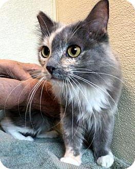 Domestic Longhair Cat for adoption in Las Vegas, Nevada - Heart