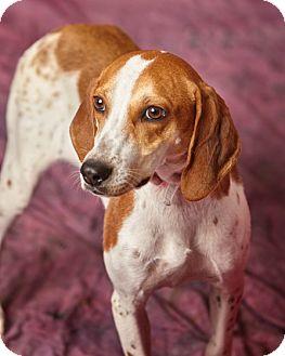 Hound (Unknown Type)/Beagle Mix Puppy for adoption in Harrisonburg, Virginia - Esmé