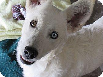 German Shepherd Dog/Siberian Husky Mix Puppy for adoption in Santa Clara, New Mexico - Luna