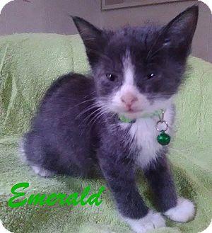 Domestic Shorthair Kitten for adoption in Flint, Michigan - Emerald