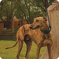 Greyhound Dog for adoption in Lubbock, Texas - Lucas