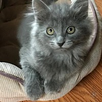 Adopt A Pet :: Zephyr - Newtown Square, PA