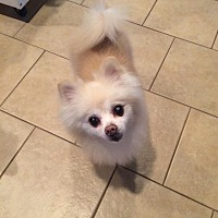 Pomeranian Dog for adoption in Norman, Oklahoma - Cinnamon
