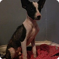 Boston Terrier/Whippet Mix Dog for adoption in New York, New York - Louie