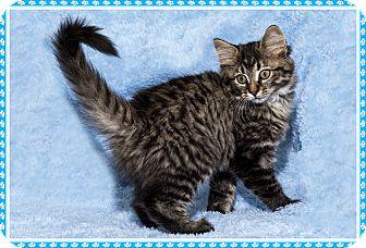 Domestic Mediumhair Kitten for adoption in Mt. Prospect, Illinois - Coco