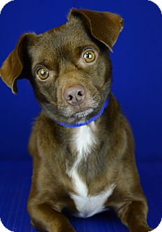 Dachshund/Terrier (Unknown Type, Small) Mix Dog for adoption in LAFAYETTE, Louisiana - ODIE