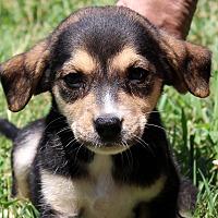 Beagle/Labrador Retriever Mix Puppy for adoption in Southbury, Connecticut - Astrix ~ meet me!