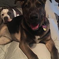 Adopt A Pet :: Halo-Adoption Pending - Pleasanton, CA