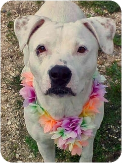 American Staffordshire Terrier Mix Dog for adoption in Huntington, New York - Susie Snowflake