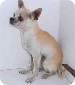 Chihuahua Mix Dog for adoption in Yuba City, California - Unnamed