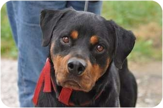 Rottweiler Dog for adoption in Belleville, Michigan - Rambo--a Sweetie!