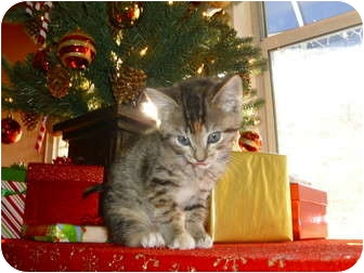 Domestic Shorthair Kitten for adoption in Beaufort, South Carolina - Norma