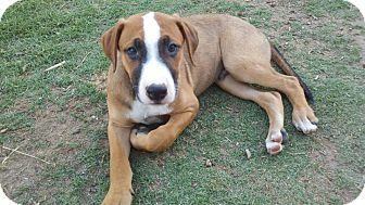 Doberman Pinscher/Boxer Mix Puppy for adoption in Bakersfield, California - Dino