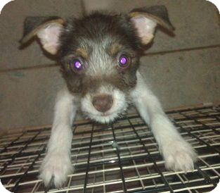 Jack Russell Terrier Mix Puppy for adoption in Phoenix, Arizona - Bacall