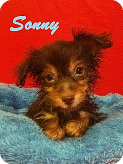 Chihuahua/Pomeranian Mix Puppy for adoption in Davie, Florida - Sonny
