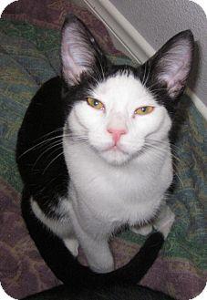 Domestic Shorthair Kitten for adoption in Winchester, California - Bebe