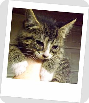 Domestic Shorthair Kitten for adoption in Owosso, Michigan - Faith