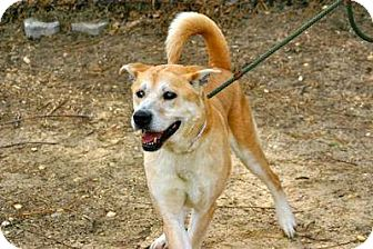German Shepherd Dog/Retriever (Unknown Type) Mix Dog for adoption in Wappingers, New York - Patrick - NO ADOPT FEE