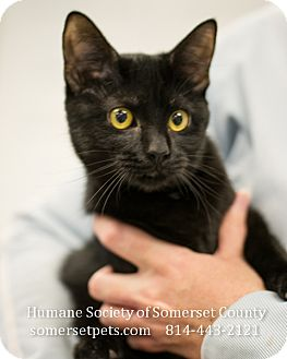 Domestic Shorthair Cat for adoption in Somerset, Pennsylvania - Victoria