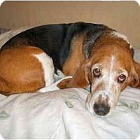 Adopt A Pet :: Foxie - Phoenix, AZ