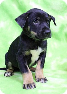 Shepherd (Unknown Type) Mix Puppy for adoption in Westminster, Colorado - Kenny