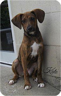 Plott Hound/Labrador Retriever Mix Puppy for adoption in Cannelton, Indiana - Kate