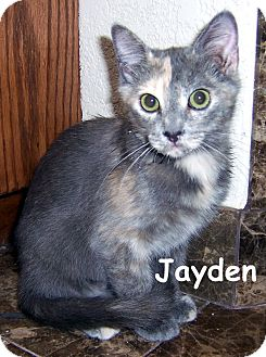 Calico Kitten for adoption in Oklahoma City, Oklahoma - Jayden