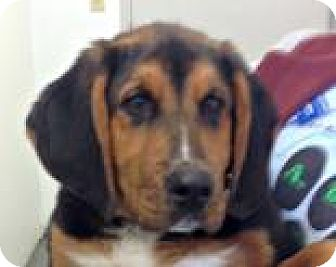 Bernese Mountain Dog/Bloodhound Mix Dog for adoption in Mt. Pleasant, Michigan - Harvey