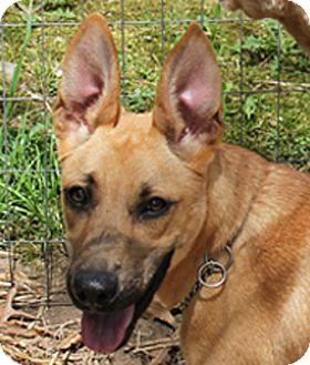 Anatolian Shepherd/German Shepherd Dog Mix Puppy for adoption in Preston, Connecticut - Aila