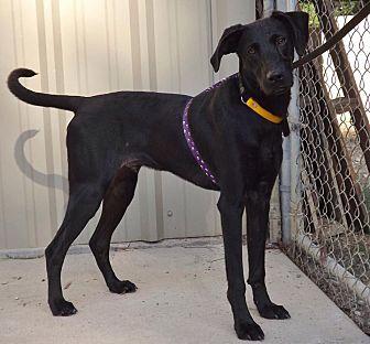 Labrador Retriever/Great Dane Mix Dog for adoption in Baton Rouge, Louisiana - Nassau