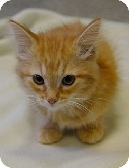 Domestic Shorthair Kitten for adoption in Michigan City, Indiana - Pearl