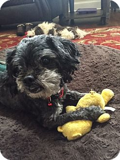 Shih Tzu/Poodle (Toy or Tea Cup) Mix Dog for adoption in Charlotte, North Carolina - Maddox ( Maddie)