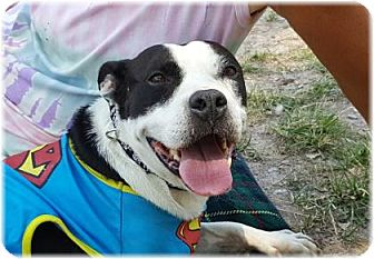 Boxer/Labrador Retriever Mix Dog for adoption in Welland, Ontario - Starla