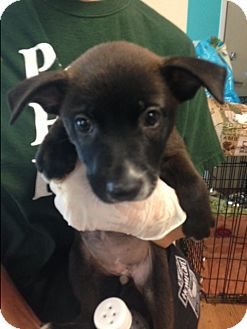 Labrador Retriever Mix Puppy for adoption in Dallas, Texas - Kayla