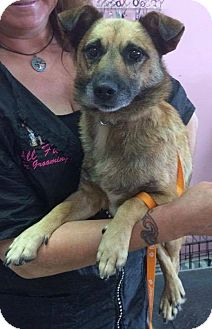Jack Russell Terrier/Shepherd (Unknown Type) Mix Dog for adoption in Manassas, Virginia - Ryder