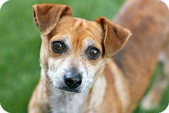 Chihuahua Mix Dog for adoption in Coronado, California - Ralph