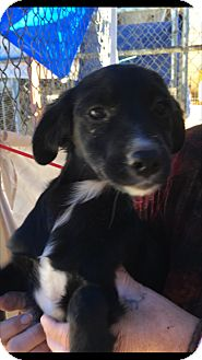 Spaniel (Unknown Type)/Shepherd (Unknown Type) Mix Puppy for adoption in Thousand Oaks, California - Movado