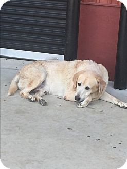 Labrador Retriever Dog for adoption in Glastonbury, Connecticut - Meatball