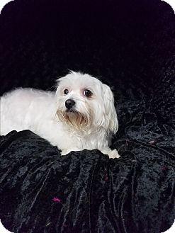 Maltese Mix Dog for adoption in Urbana, Ohio - Candie Turner