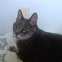 Domestic Shorthair Cat for adoption in Bloomington, Minnesota - Max
