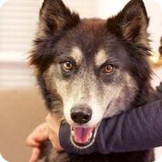 Husky/Australian Shepherd Mix Dog for adoption in Chattanooga, Tennessee - Kaia