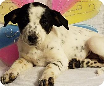 Australian Cattle Dog Mix Puppy for adoption in Newark, Delaware - Mocha