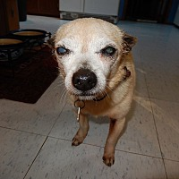 Chihuahua/Terrier (Unknown Type, Small) Mix Dog for adoption in Bremo Bluff, Virginia - Nicky