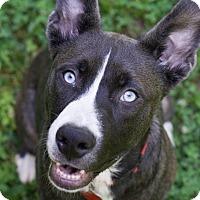 Adopt A Pet :: Laser - Reidsville, NC