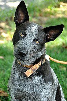 Australian Cattle Dog/Blue Heeler Mix Dog for adoption in Fort Leavenworth, Kansas - Chewey