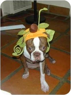 Boston Terrier Dog for adoption in Temecula, California - Joe Bean
