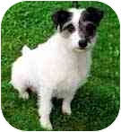 Jack Russell Terrier Mix Dog for adoption in Rhinebeck, New York - Romeo