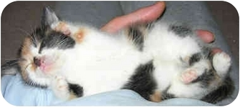 Domestic Shorthair Kitten for adoption in Flagstaff, Arizona - Calico Kitten