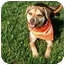 Photo 4 - Beagle/Terrier (Unknown Type, Small) Mix Puppy for adoption in Castro Valley, California - Buddy