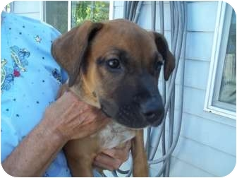 Boxer/Labrador Retriever Mix Puppy for adoption in Grants Pass, Oregon - Dolly